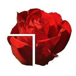 rose-m-skar-3